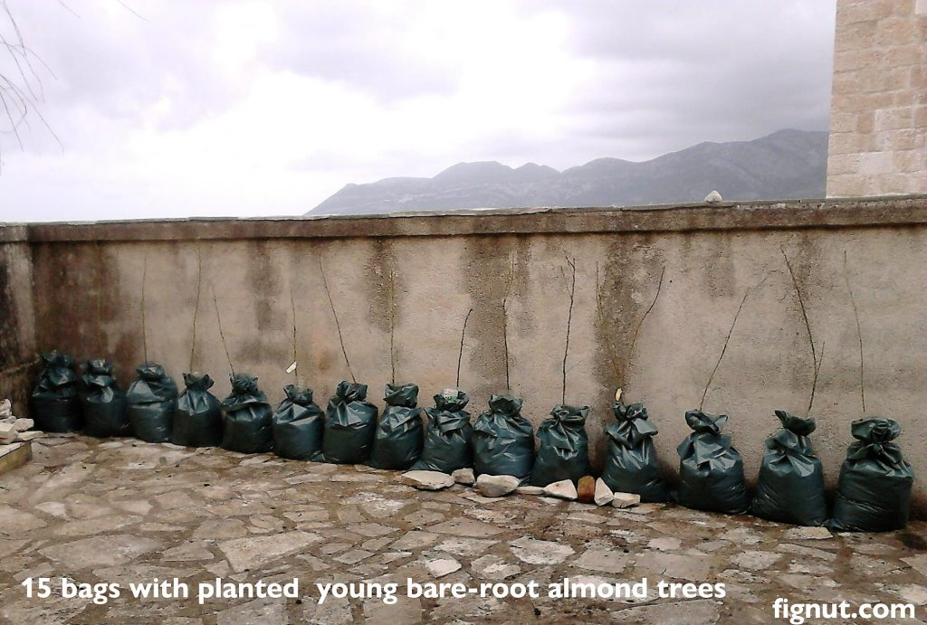 15 bags of planted newly arrived bare root almond trees