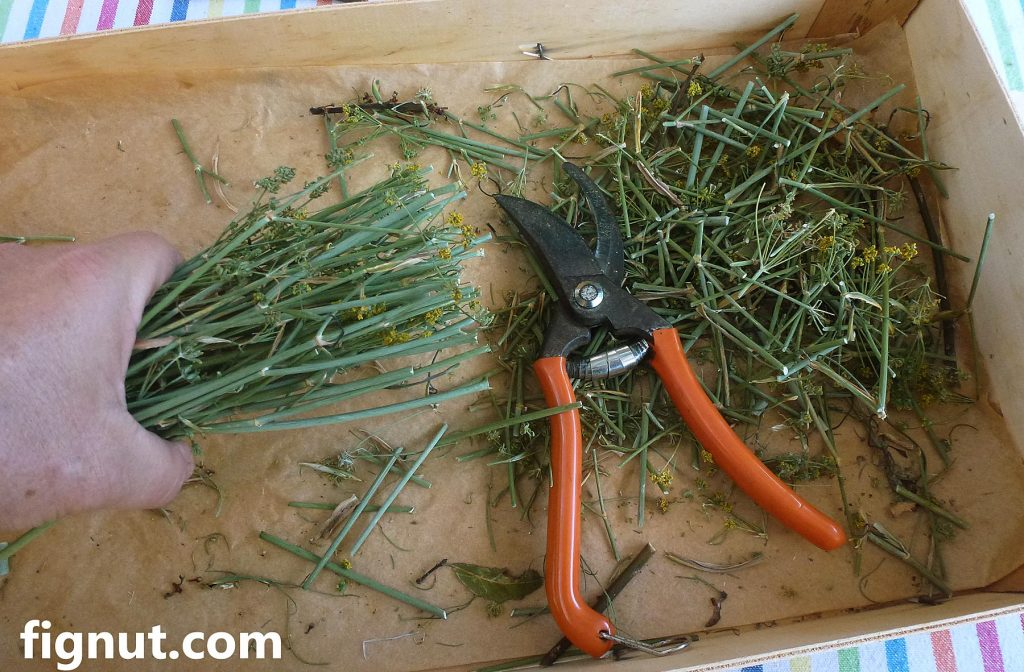 Wild Fennel (Foeniculum vulgare) for mixing with figs