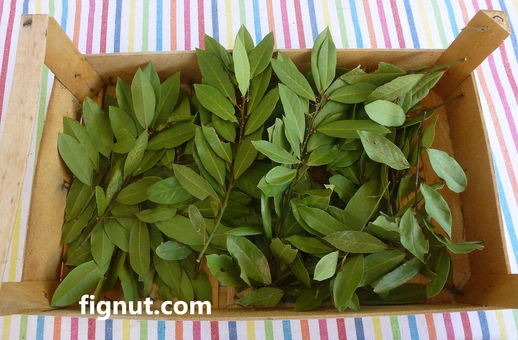 bay leaves (Laurus nobilis) to mix with dry figs