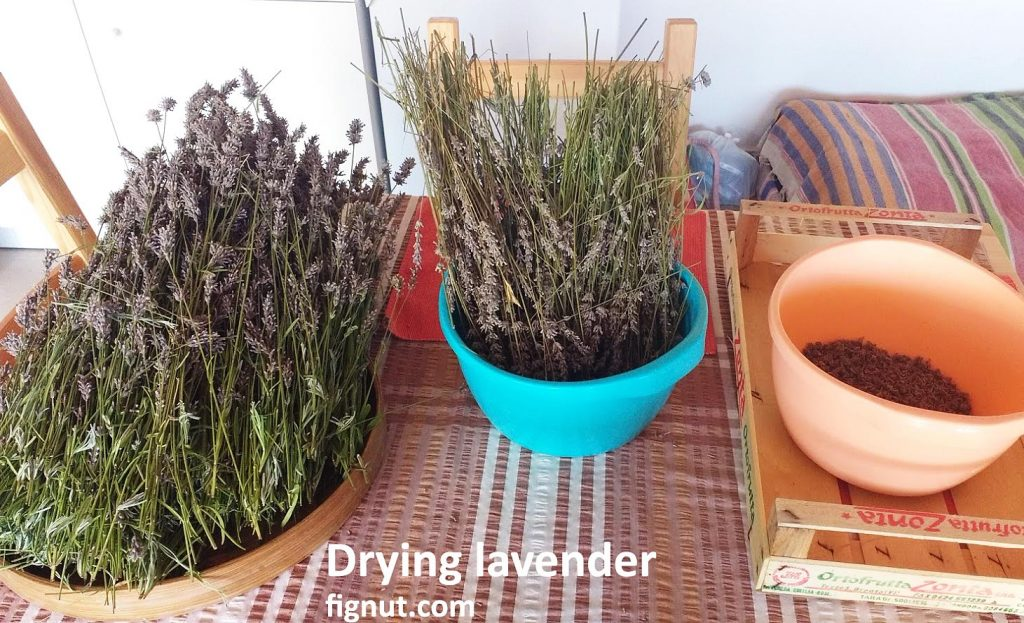 Table in my room: Drying lavender on tray;  container with stems and flowers;  already separated buds collected in container