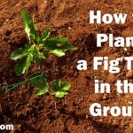How to Plant a Potted Fig Tree in the Ground