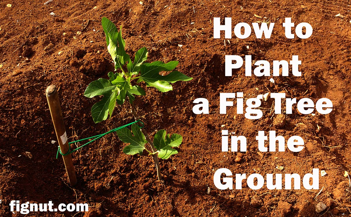 fig treeplanted in the ground with a supportstick/stake and appropriate, flexible plant tie
