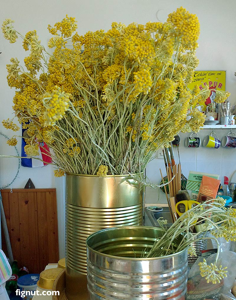freshly cut flowers of Helichrysum arenarium, immortelle, dwarf everlast