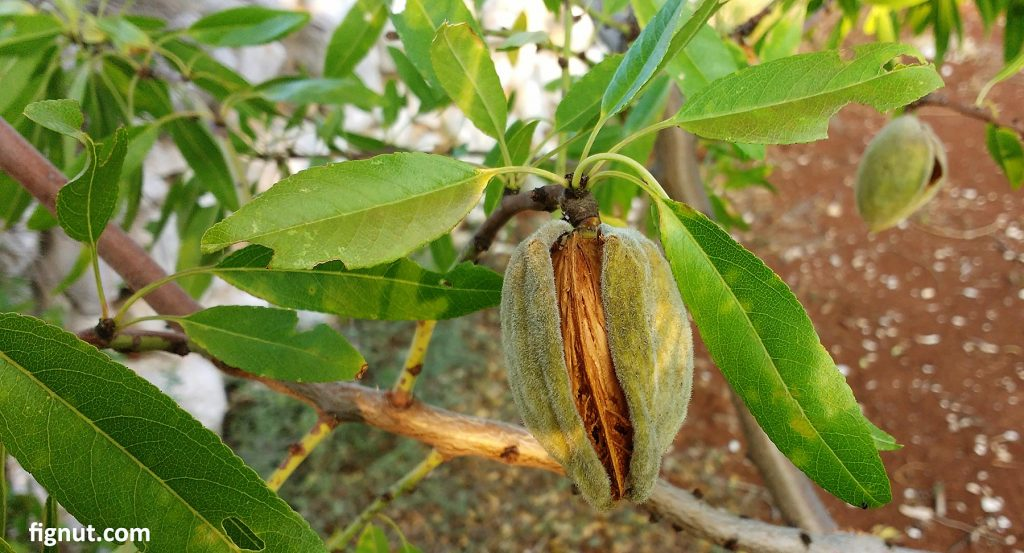 This nut is almost ready to harvest, but let it stay on the tree for another week