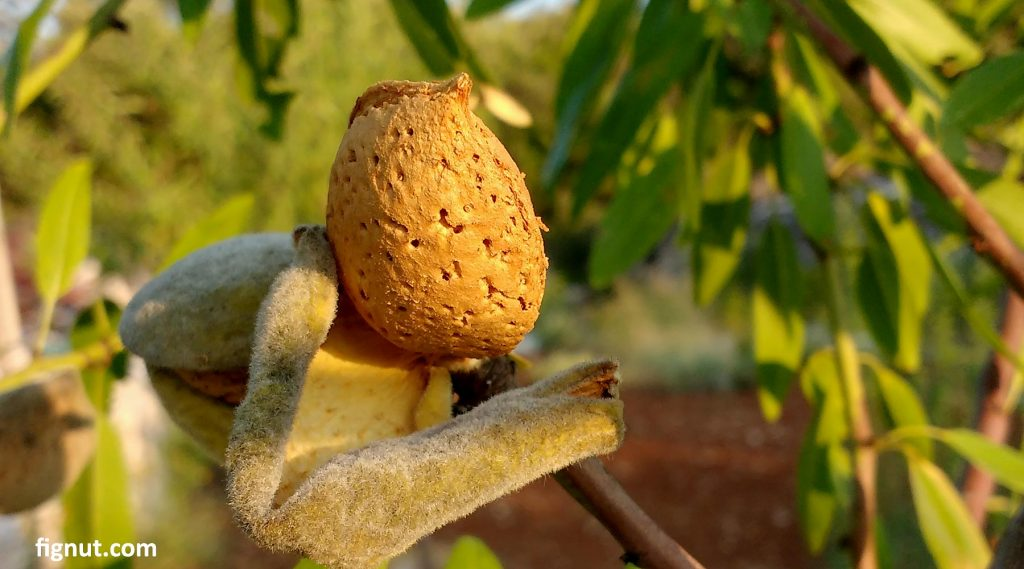 This nut is ready to harvest!