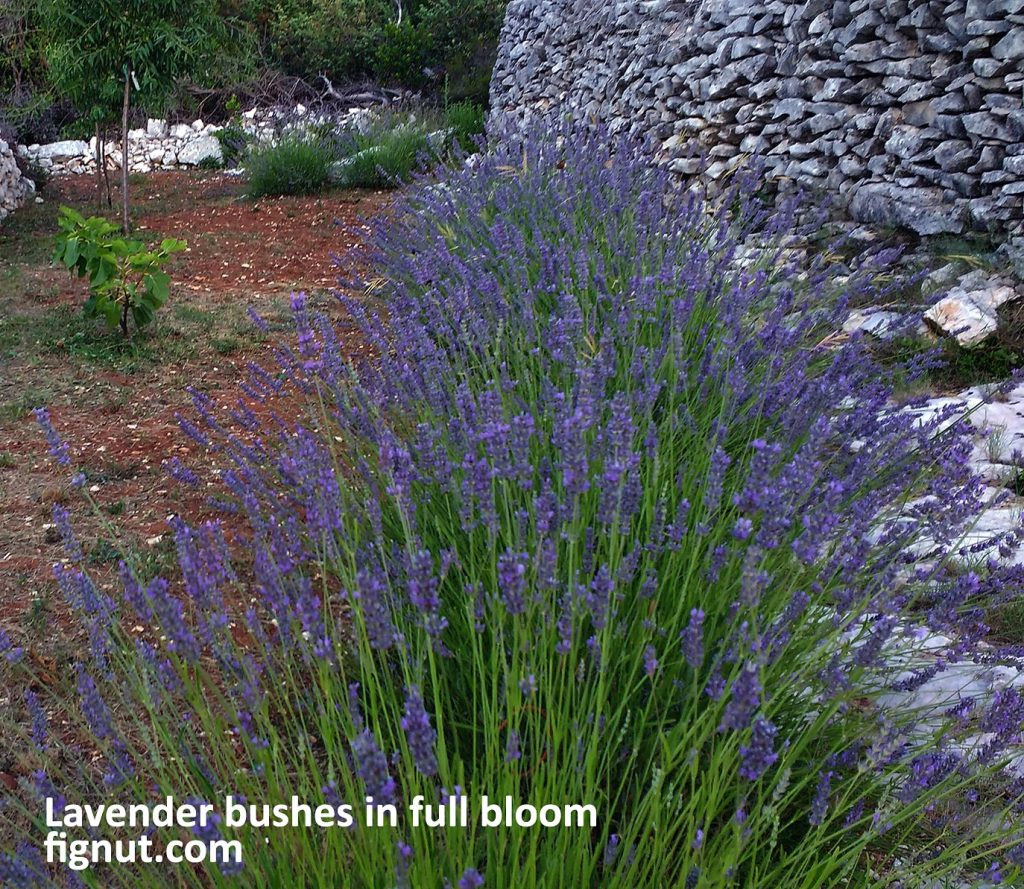 Lavender bushes in full bloom