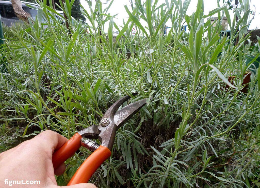 Taking lavender cuttings