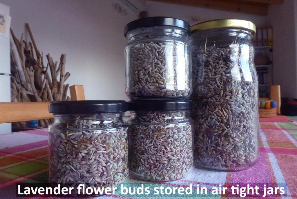 Lavender flower buds stored in air tight jars (mason jars)