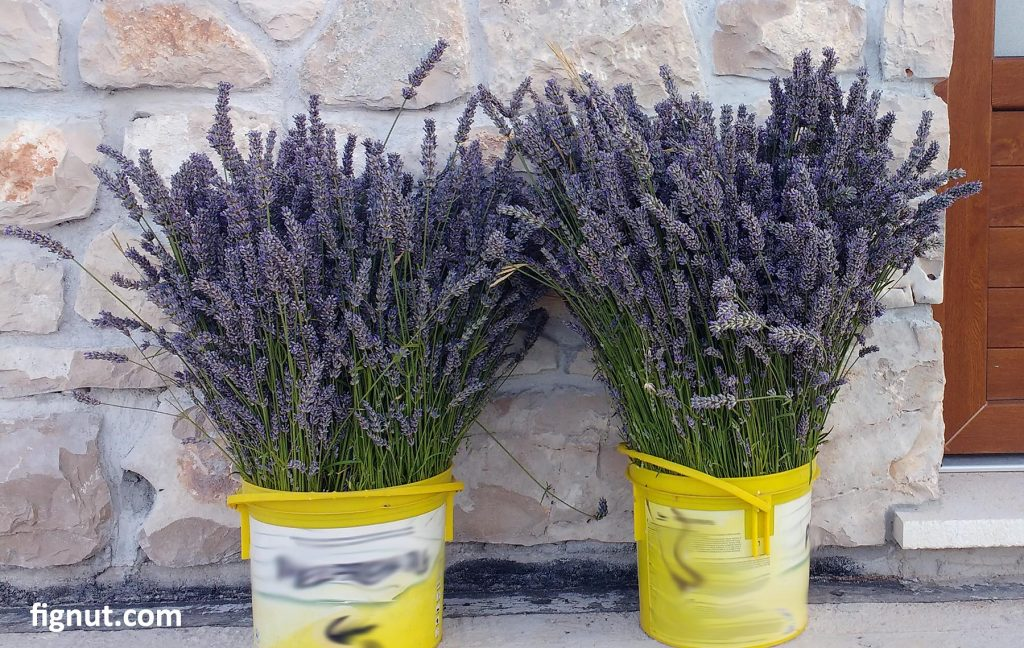 Lavender flowers, harvested and ready to dry
