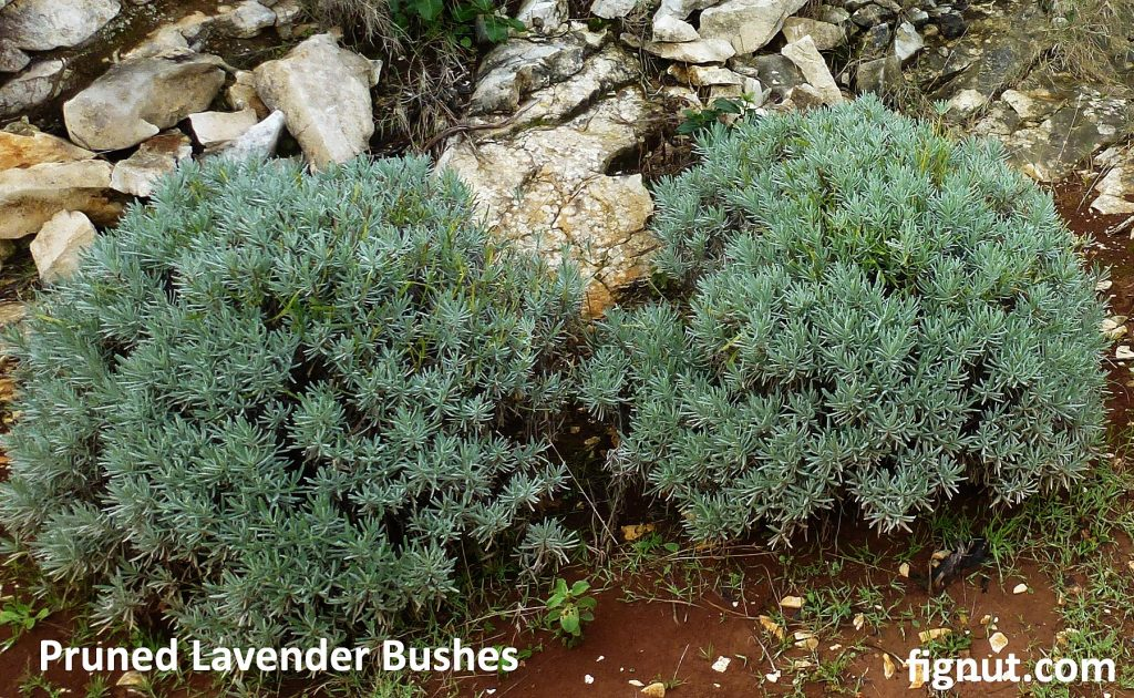 Compact and rounded bushes, pruned