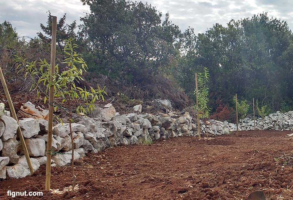 Freshly planted Almond Trees