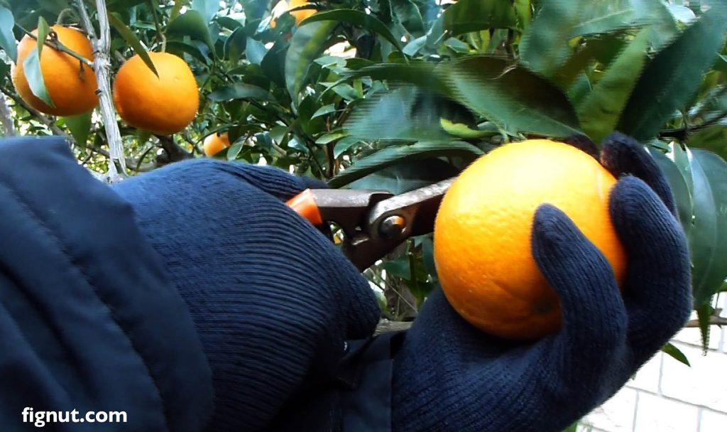 Cutting off orange with garden scissors (pruning shears)