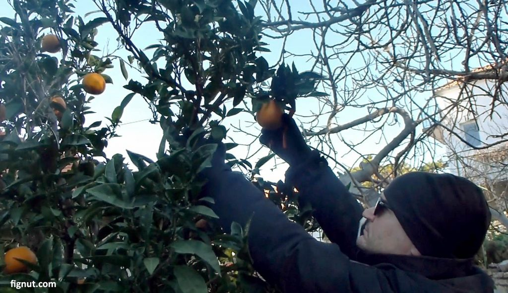 Picking fruit from the taller branches
