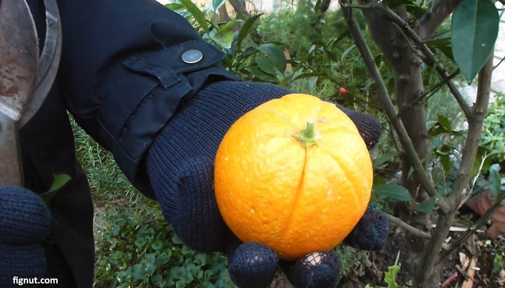 Picked orange fruit from the tree