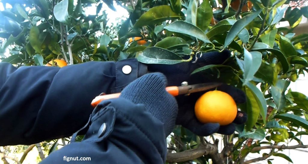 Snipping orange fruit from the branch with garden scissors