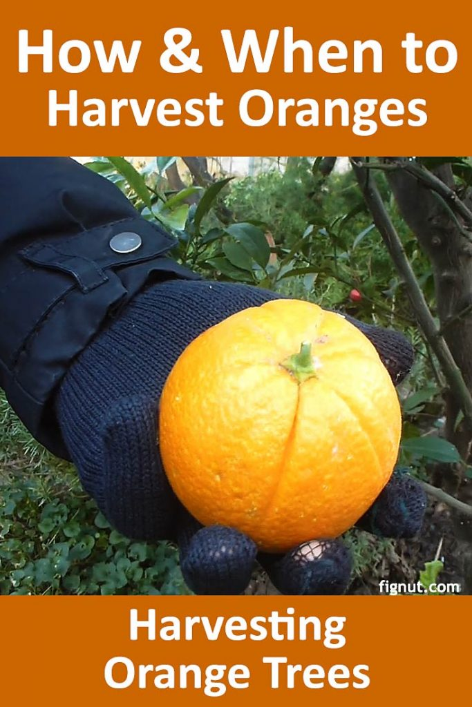 This image has an empty alt attribute; its file name is orange-tree-harvest-pin2-683x1024.jpg