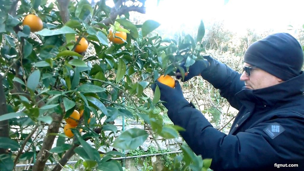 Oranges are ready to be picked