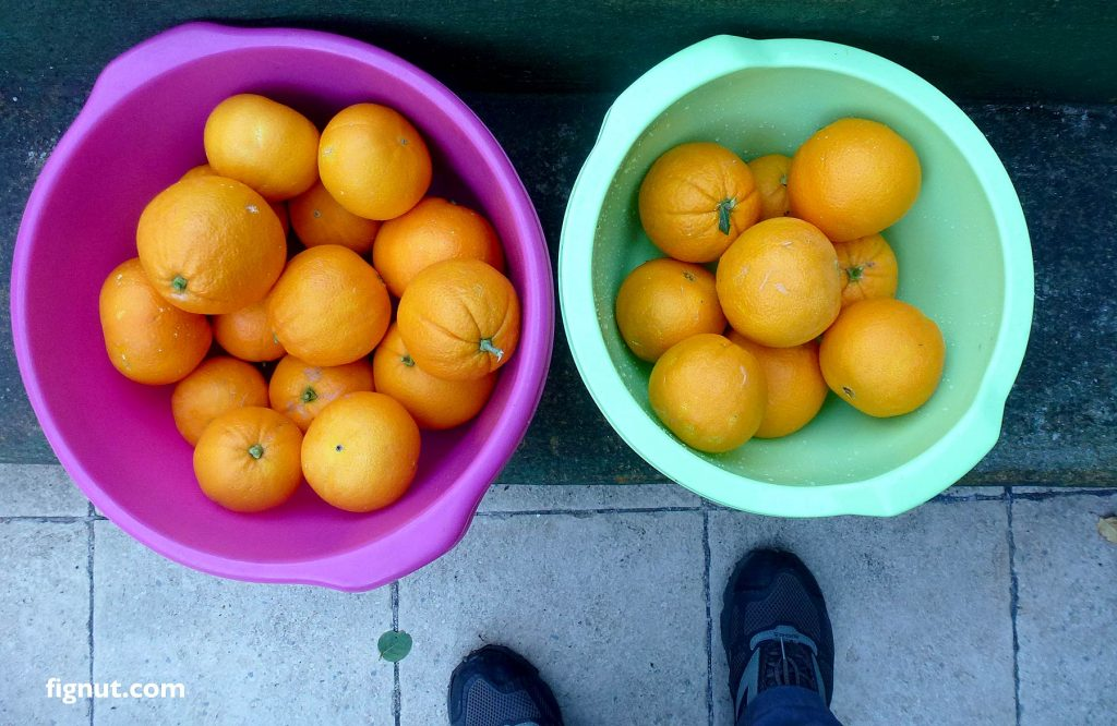 Our oranges picked up from one of my mum's orange trees