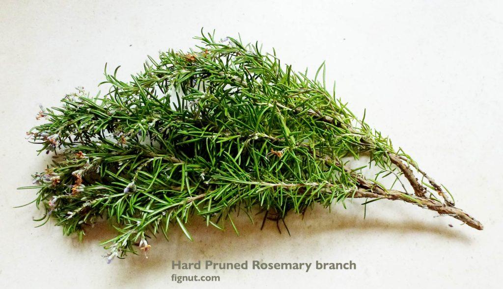 Hard pruned rosemary stem