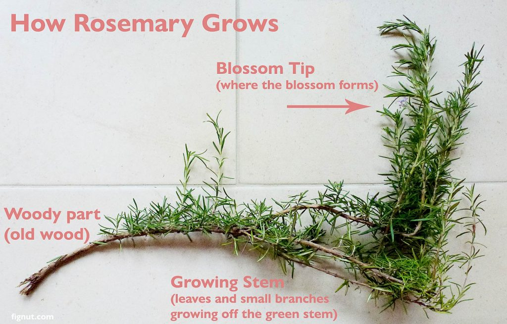 How rosemary grows - parts of rosemary plant: woody part, growing stem and blossom tip