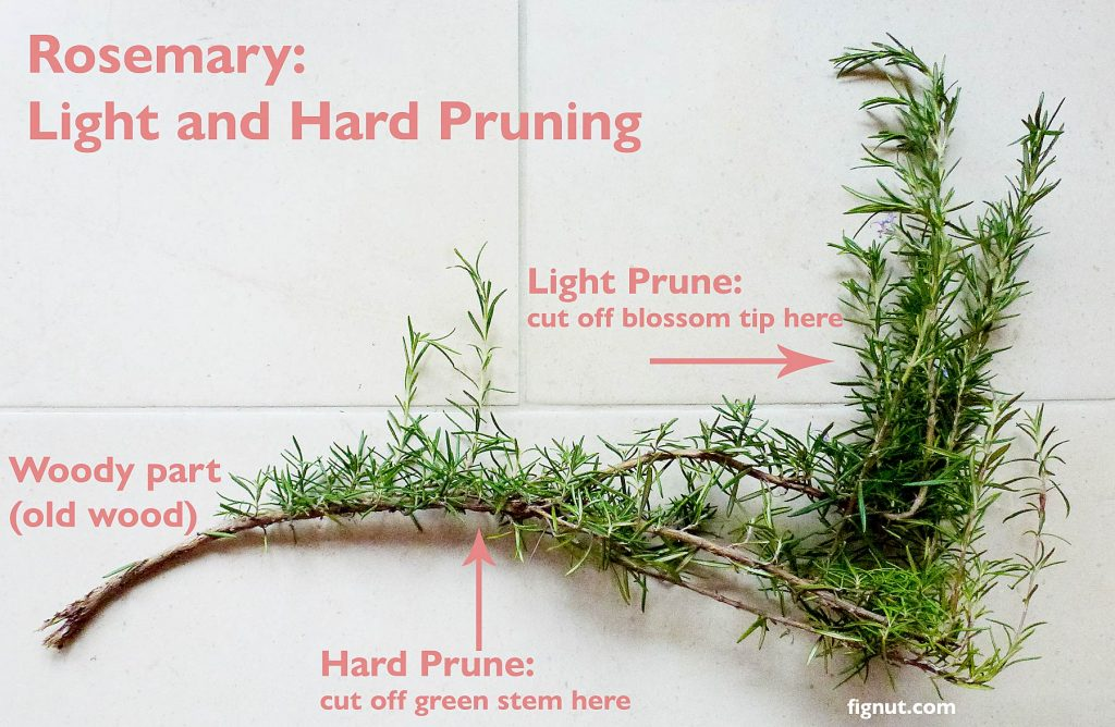 Light and Hard prune diagram - where to cut off your rosemary plant