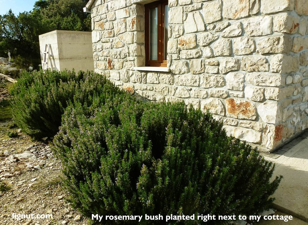 Rosemary bush planted next to the east facing wall