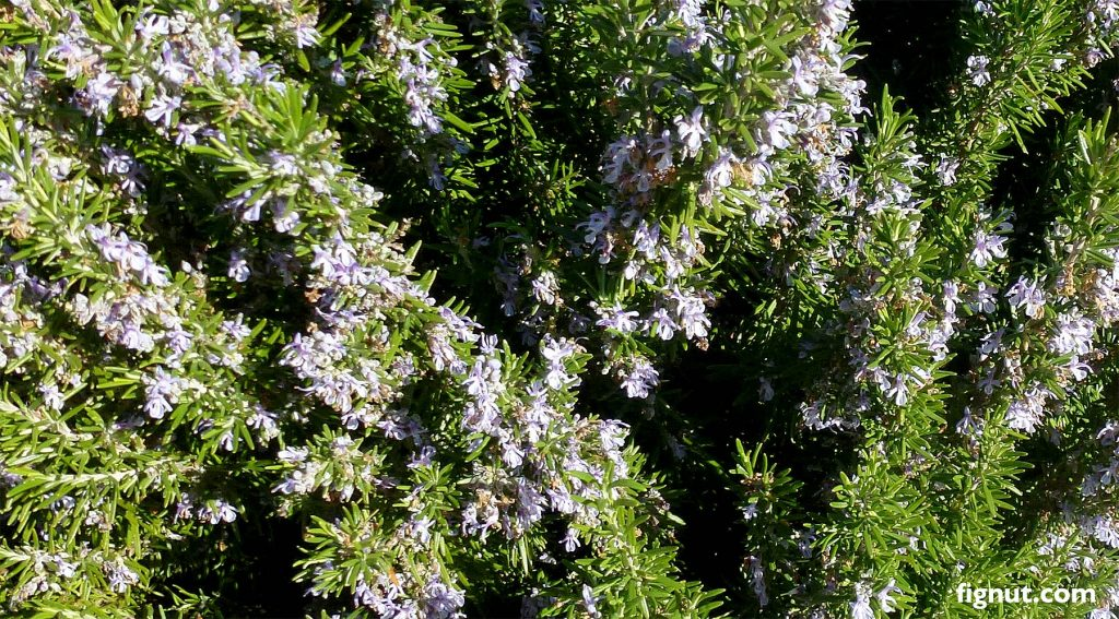 My rosemary plant in the full bloom, ready for harvesting