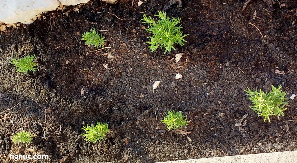 Baby rosemary plants that I grew from cuttings