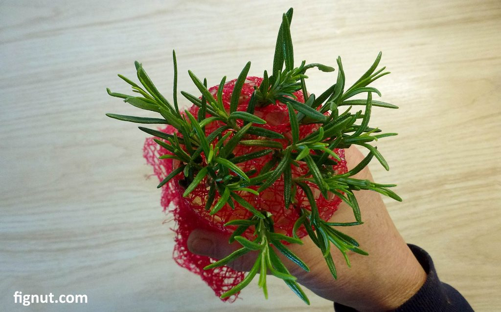 Rosemary cuttings placed in water, ready for winter propagation