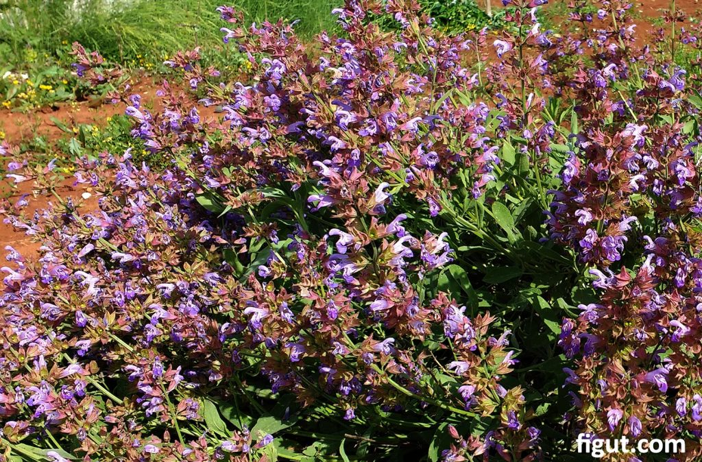 wild sage plant flowering in the mid spring