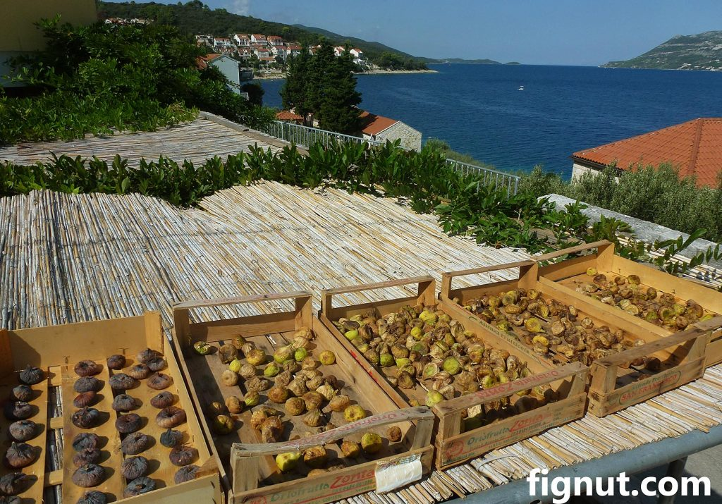 Fig fruit sun drying on the terrace roof