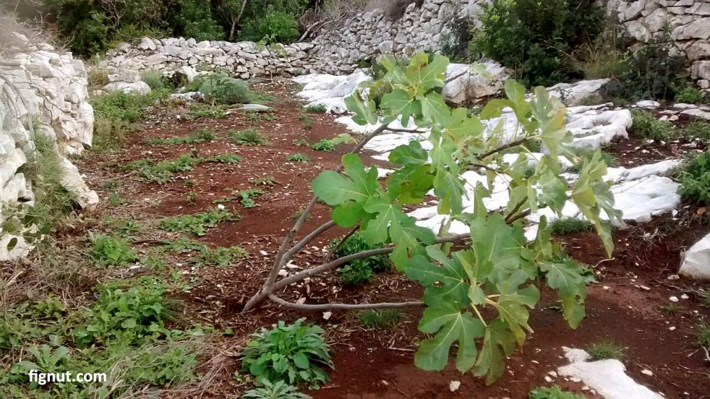 Three year old fig tree damaged by strong wind