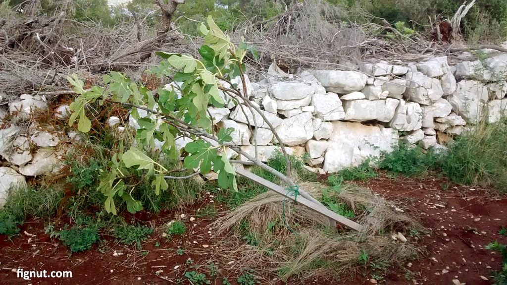 Another fig tree damaged by strong wind even it had some support