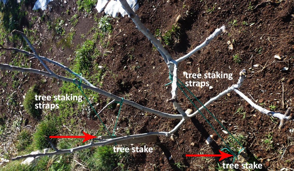 two tree stakes and straps for supporting a tree against the strong winds