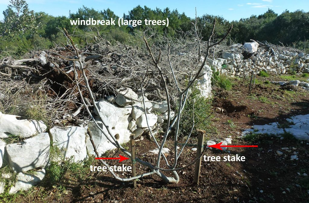 Fig tree supported with two tree stakes, drystone wall and tall trees as natural windbreak in the background