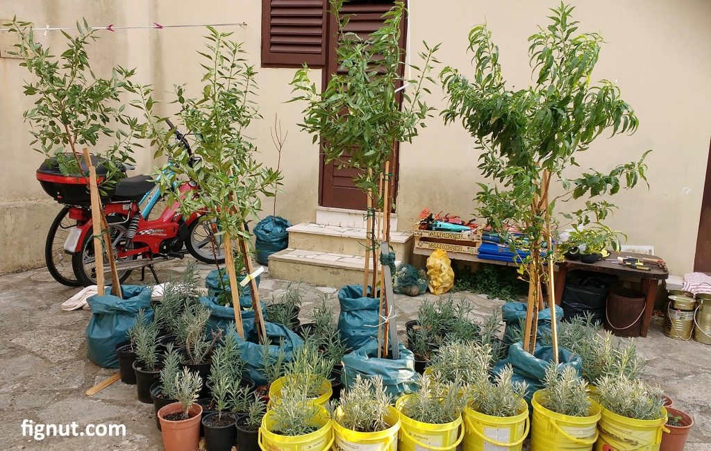 Young almond trees and lavender plants that I grew from cuttings in my patio, ready to be transported to the land and replanted into the ground